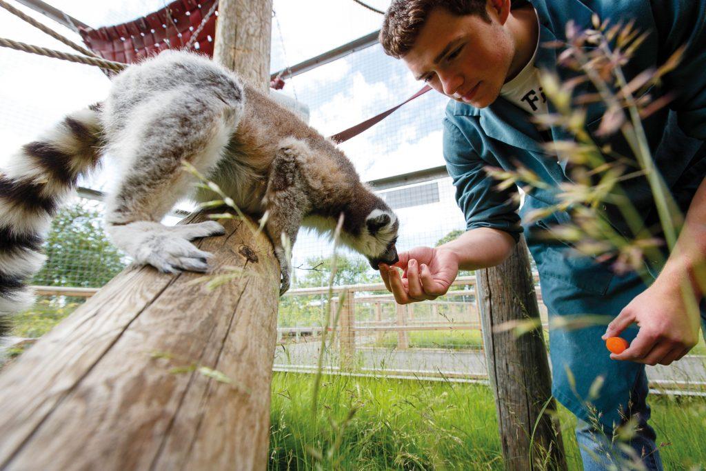Male student feeding a lemur in zoo