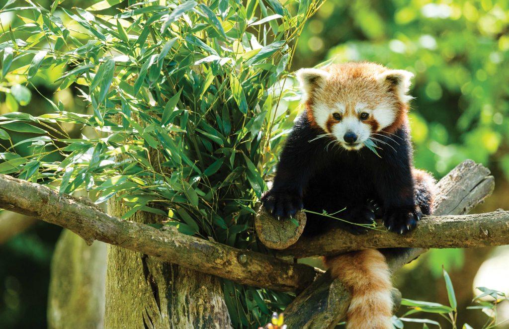 Red panda at zoo